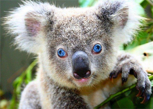 コアラ 生態 性格